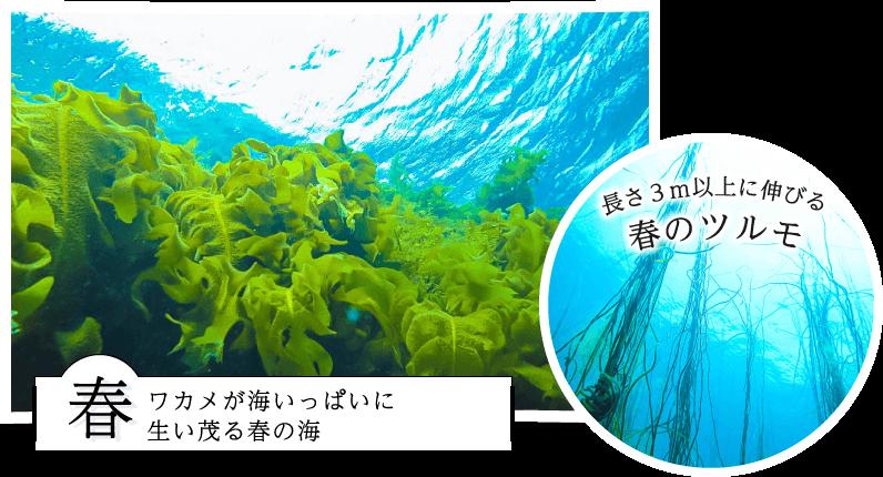 長さ3m以上に伸びる春のツルモ 春ワカメが海いっぱいに生い茂る春の海